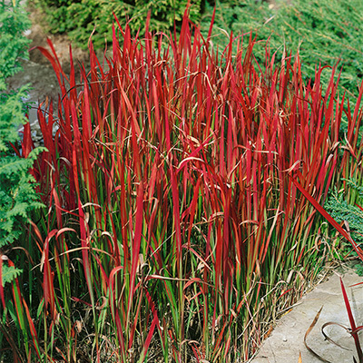 Imperata cylindrica red baron parkers wholesale - Imperata cylindrica red baron ...
