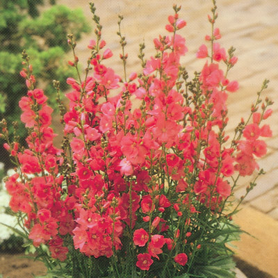 Sidalcea Party Girl Parkers Wholesale