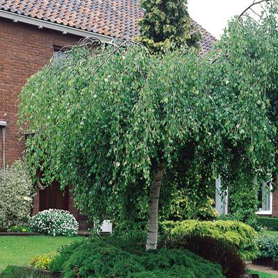 betula pendula youngii weeping birch parkers wholesale. Black Bedroom Furniture Sets. Home Design Ideas
