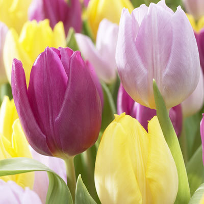 Tulip Prince Mixed Parkers Wholesale