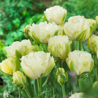 Tulip Maureen Double Parkers Wholesale