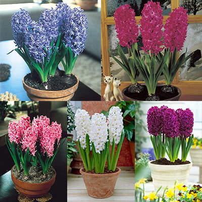 christmas flowering hyacinth showbox parkers wholesale