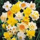 Daffodils/Narcissi Mixed