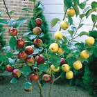 Dual Fruit Trees