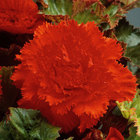 Fimbriata Begonias (Out of Stock)