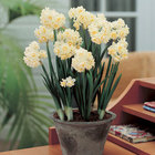 Indoor Flowering Bulbs
