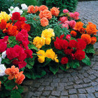 Non-Stop Begonias (Out of Stock)