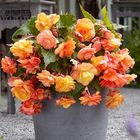Cascading Begonias (Out of Stock)