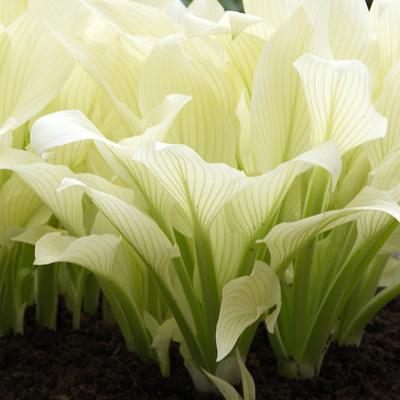 Hosta White Feather Parkers Wholesale