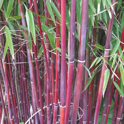 Bamboo Red Parkers Wholesale