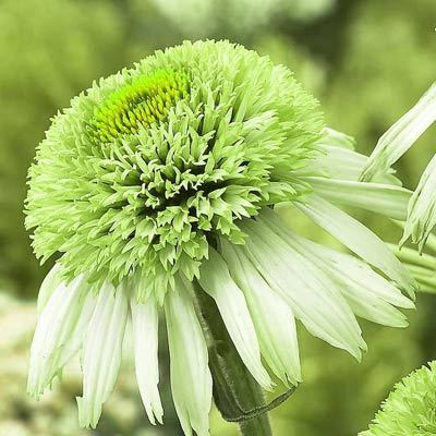 Echinacea Greenline Parkers Wholesale